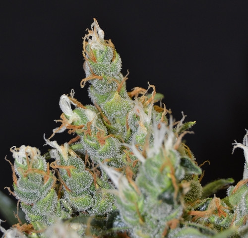 Kali by CBD Seeds