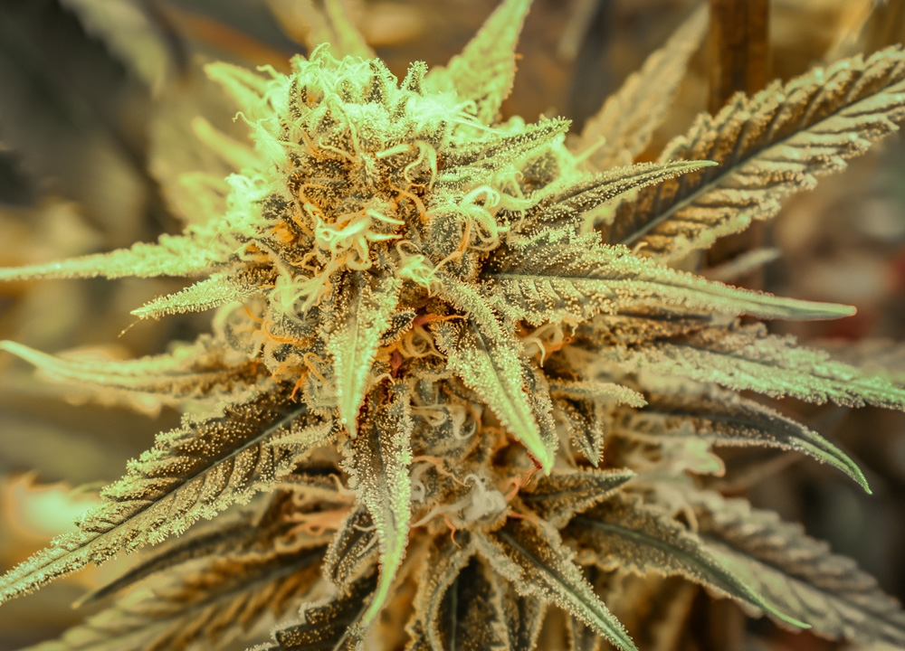 Killer Queen by Brothers Grimm Seeds