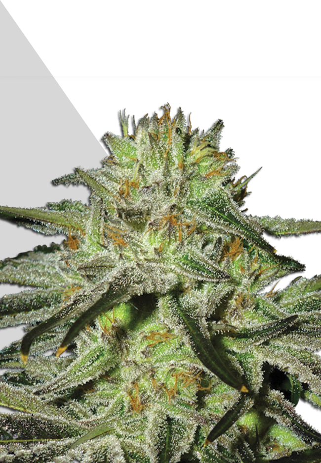 Kush Doctor by