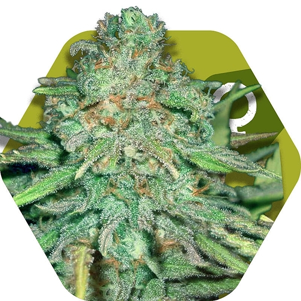Lemon Kush by
