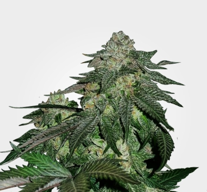 Magnum Automatic Marijuana Seeds
