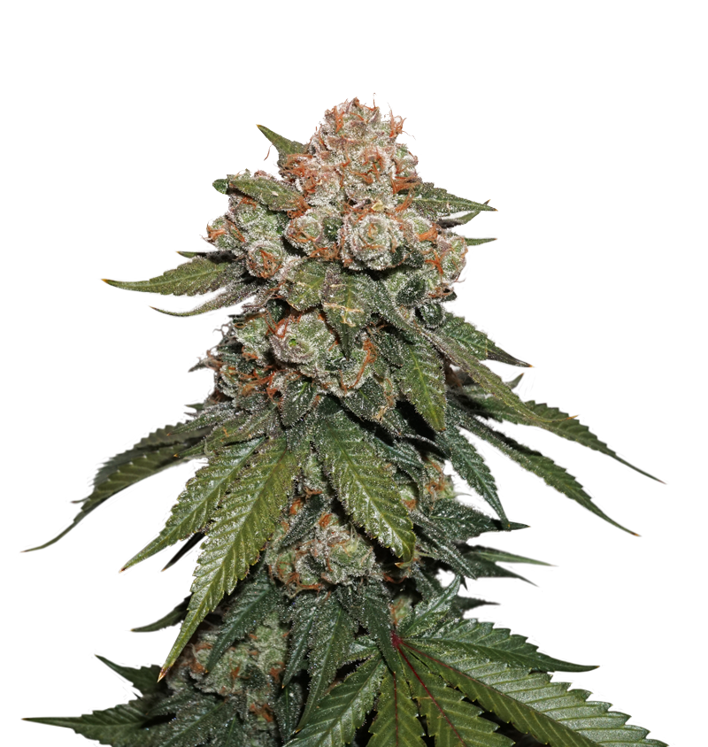 Maple Sherbet x Pre '89 Skunk by Seedstockers