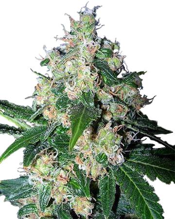 Mazar by Growers Choice Seeds