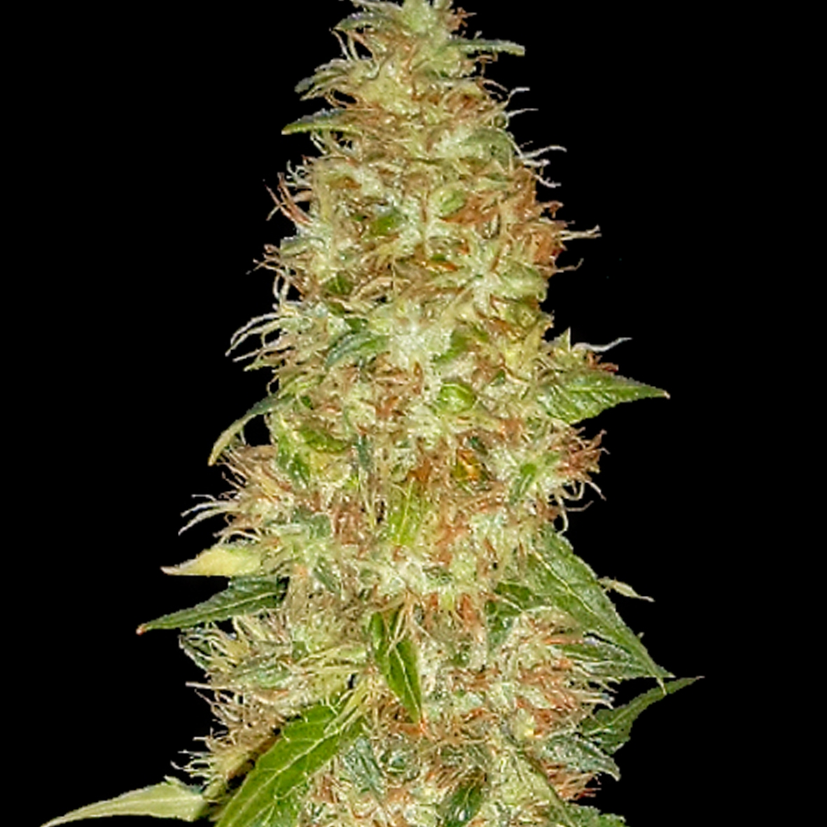 Moon Walker Kush by Spliff Seeds