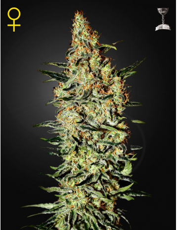 Nevilles Haze by Green House Seeds