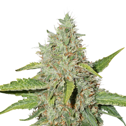 Northern Lights Autoflower by Seedstockers