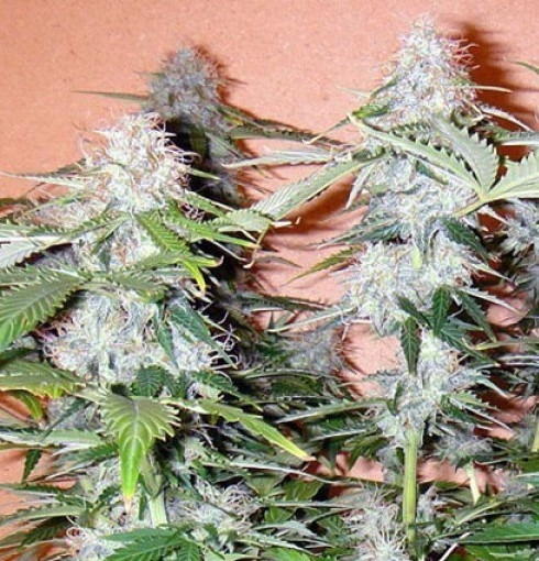 Northern Lights Autoflowering by Canuk Seeds