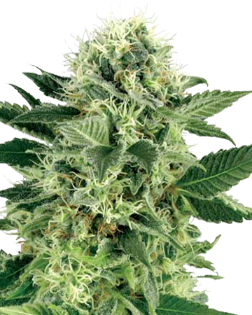 Northern Lights Autoflowering by Growers Choice Seeds