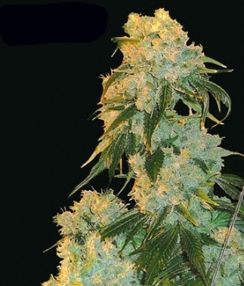 Northern Lights by Canuk Seeds