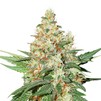 O.G. Kush by Seedstockers