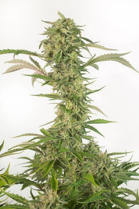 OG Kush Autoflowering CBD Marijuana Seeds