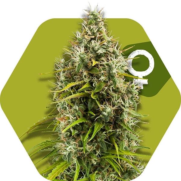 Pineapple Express Marijuana Seeds