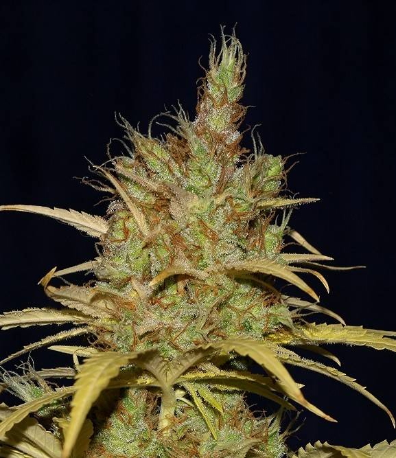 Power Africa x MK Ultra FAST by Seedsman