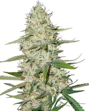 Power Plant by Growers Choice Seeds
