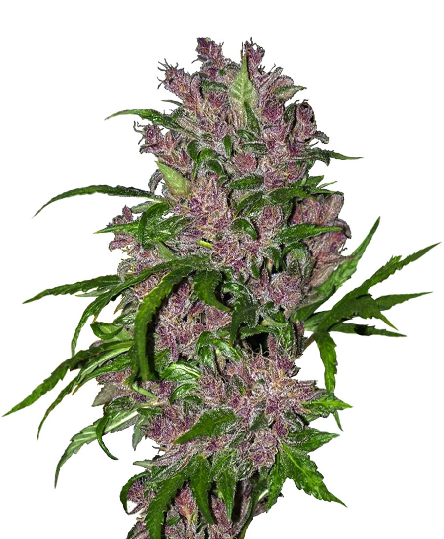 Purple Bud Automatic by White Label