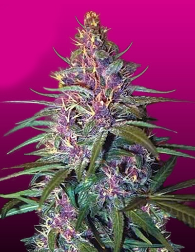 Purple Kush by Crop King Seeds