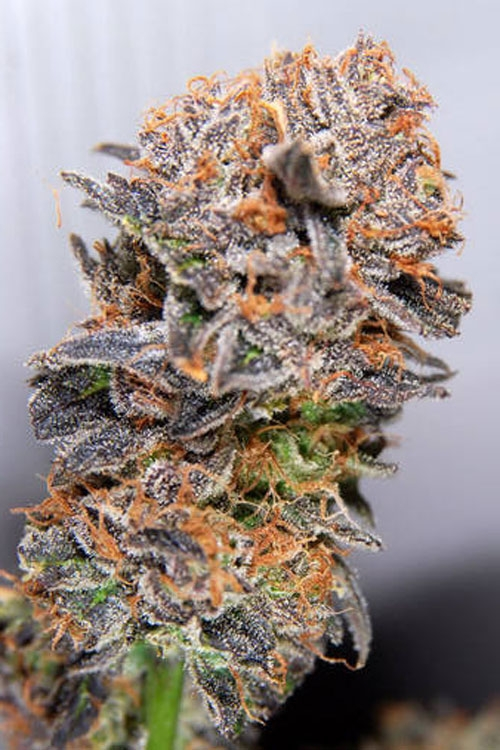 Querkle by TGA Genetics Subcool Seeds
