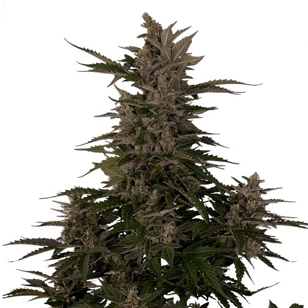 Royal Critical Automatic by Royal Queen Seeds
