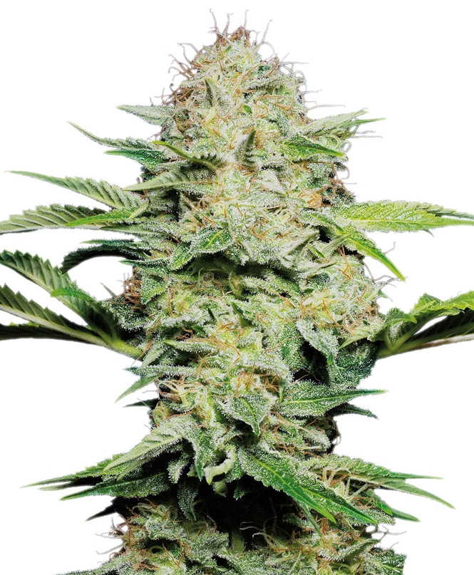 Sensi Skunk Automatic by Sensi Seeds