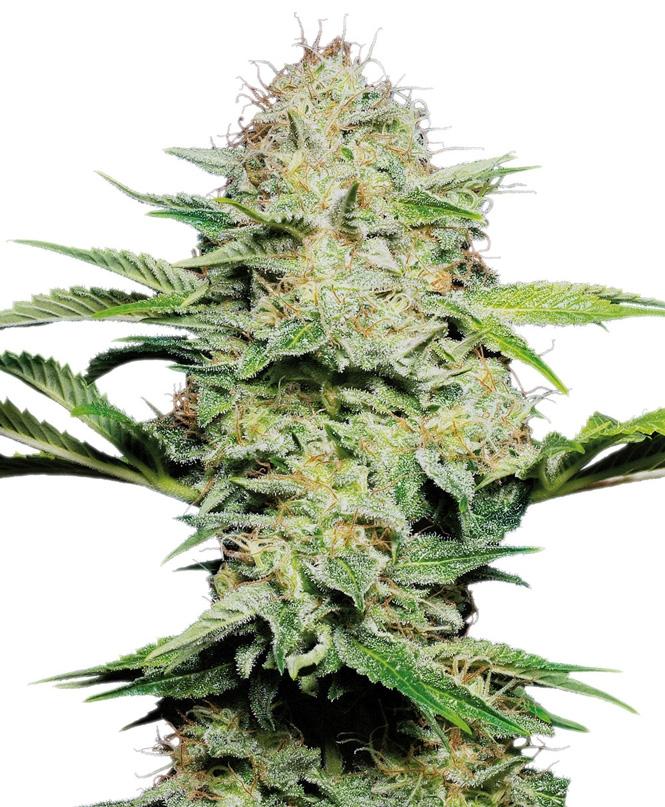 Sensi Skunk Automatic Marijuana Seeds