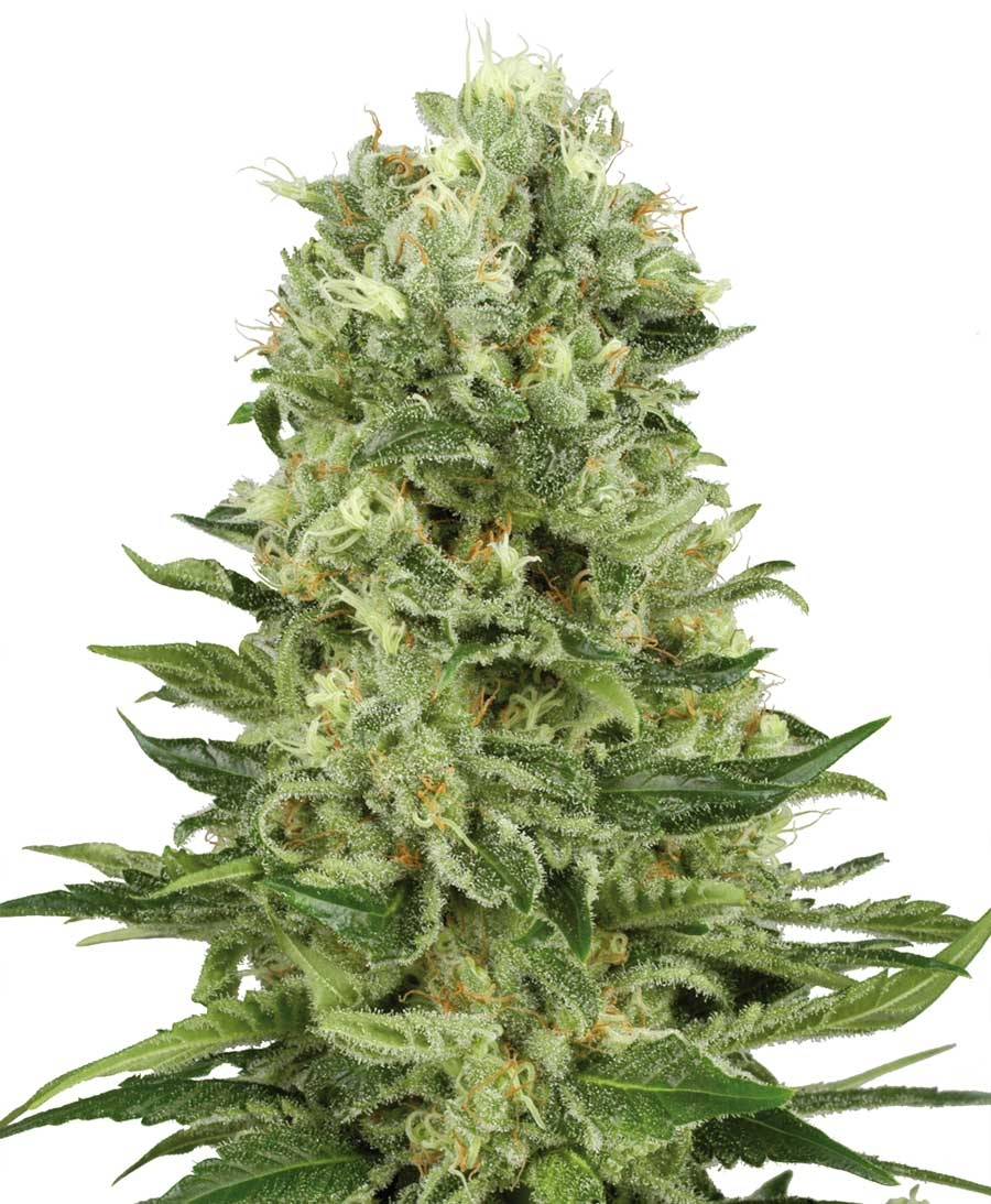 Skunk #1 Automatic by