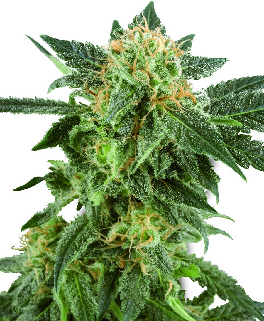 Snow Ryder Auto by White Label