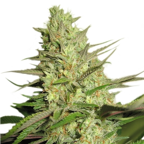 Special Queen #1 by Royal Queen Seeds