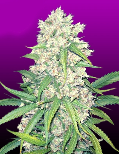 Super Silver Haze by Crop King Seeds