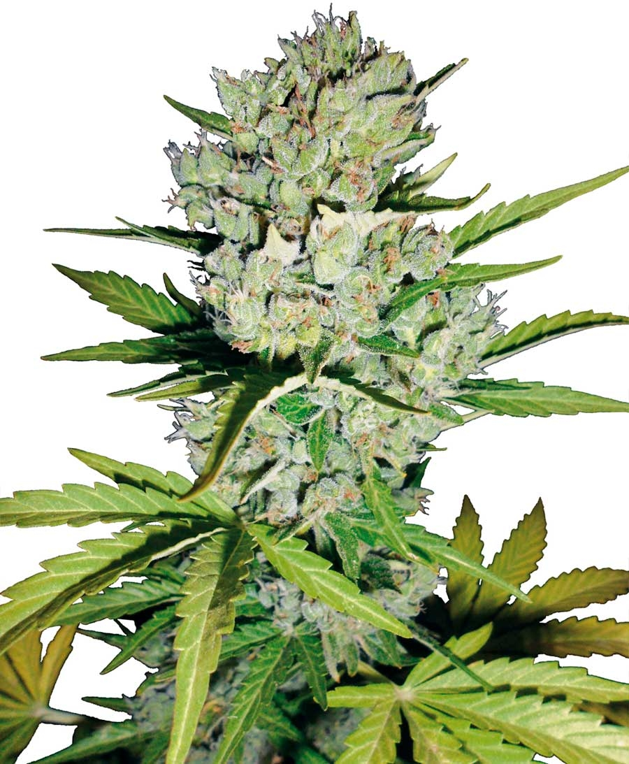 Super Skunk Automatic by White Label