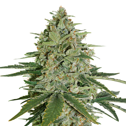 Super Skunk by Seedstockers