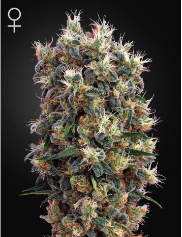 The Church by Green House Seeds