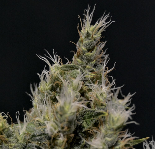 Vanilla Haze by CBD Seeds