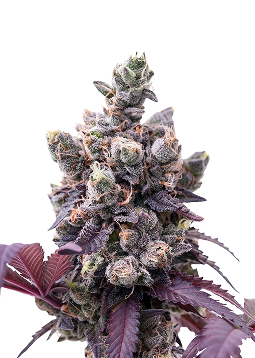 Wedding Gelato by