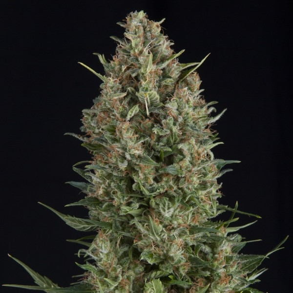 Wembley by Pyramid Seeds
