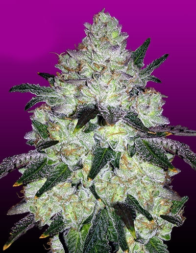 White Cookies Marijuana Seeds
