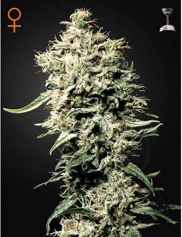 White Rhino by Green House Seeds