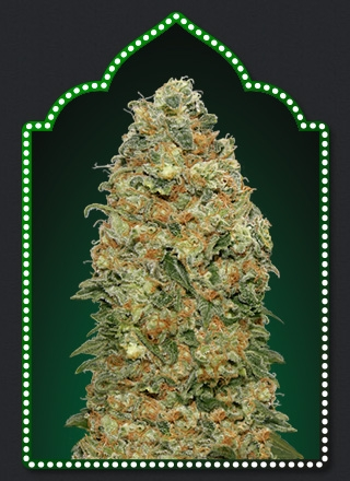 White Widow by 00seeds