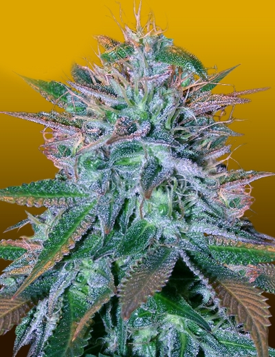 White Widow Auto by Crop King Seeds