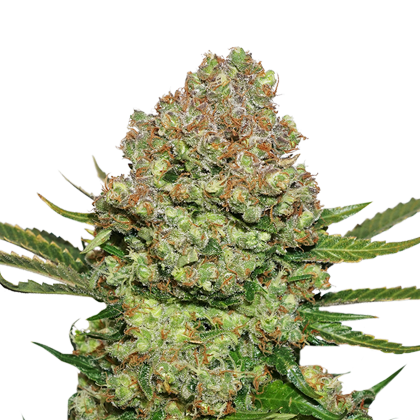 White Widow Autoflower by Seedstockers