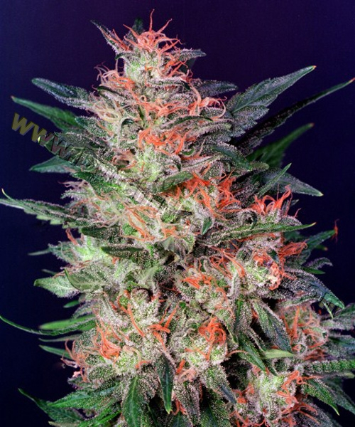 White Widow by Dutch Passion