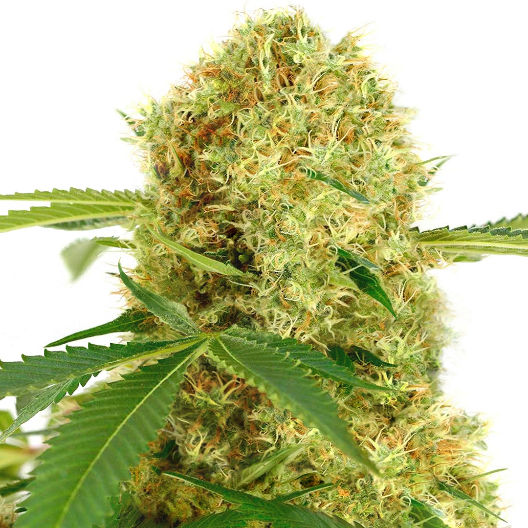 White Widow (fem) Marijuana Seeds