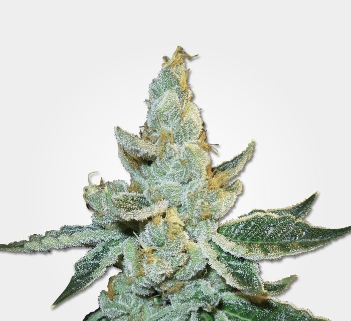 White Widow Max Automatic by MSNL