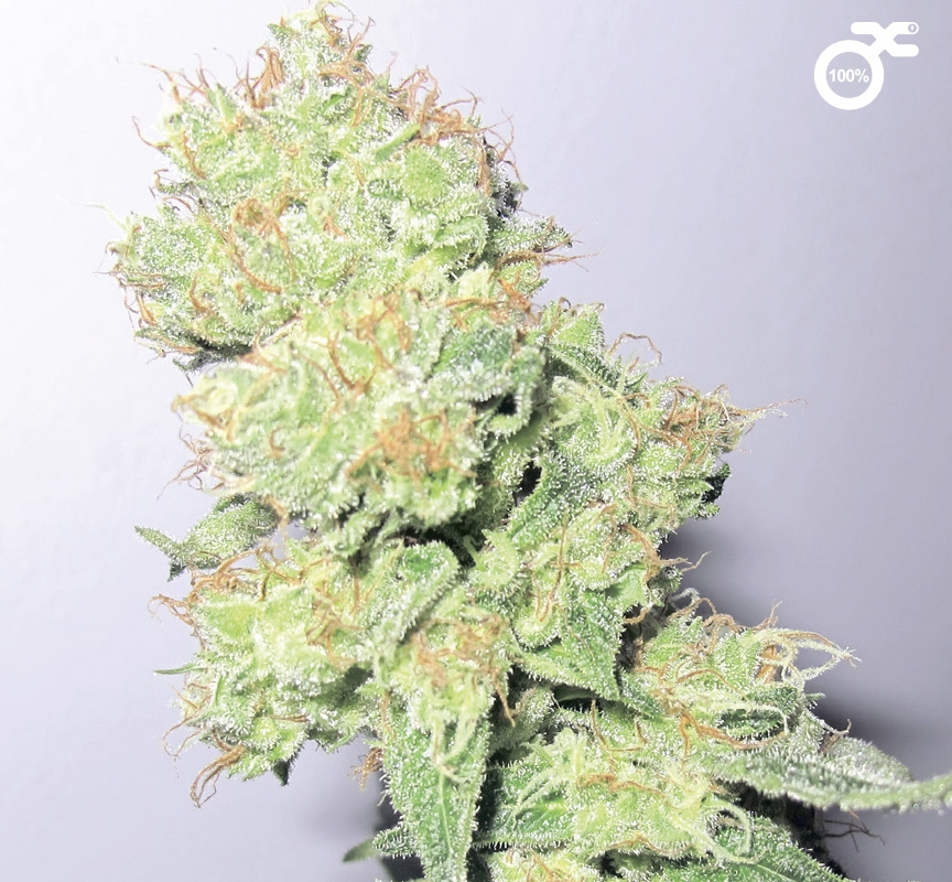 Y Griega CBD by Medical Seeds