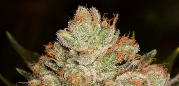 Purple Alien OG Strain - Growing Tips and Medical Effects