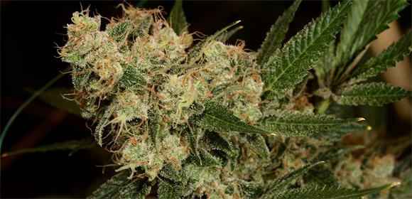 Chiesel Strain Information
