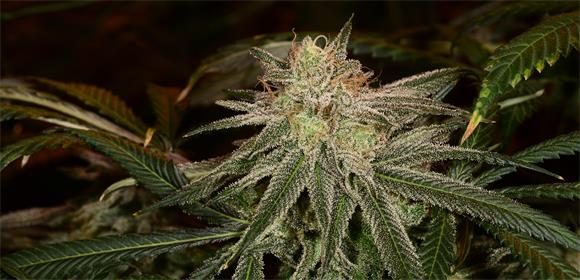 Purple Dream Strain - Growing Tips and Medical Effects