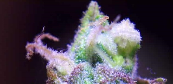 Sour Apple Strain Information