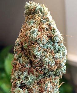 (Hairy) Poison Haze