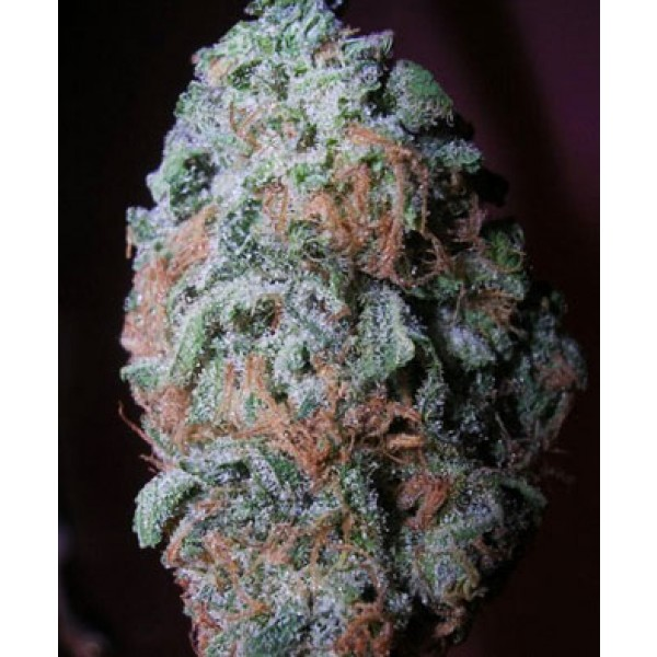 Beautiful, large nug of blueberry haze - Blueberry Haze Marijuana Strain