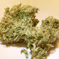 Close up of Northern Skunk